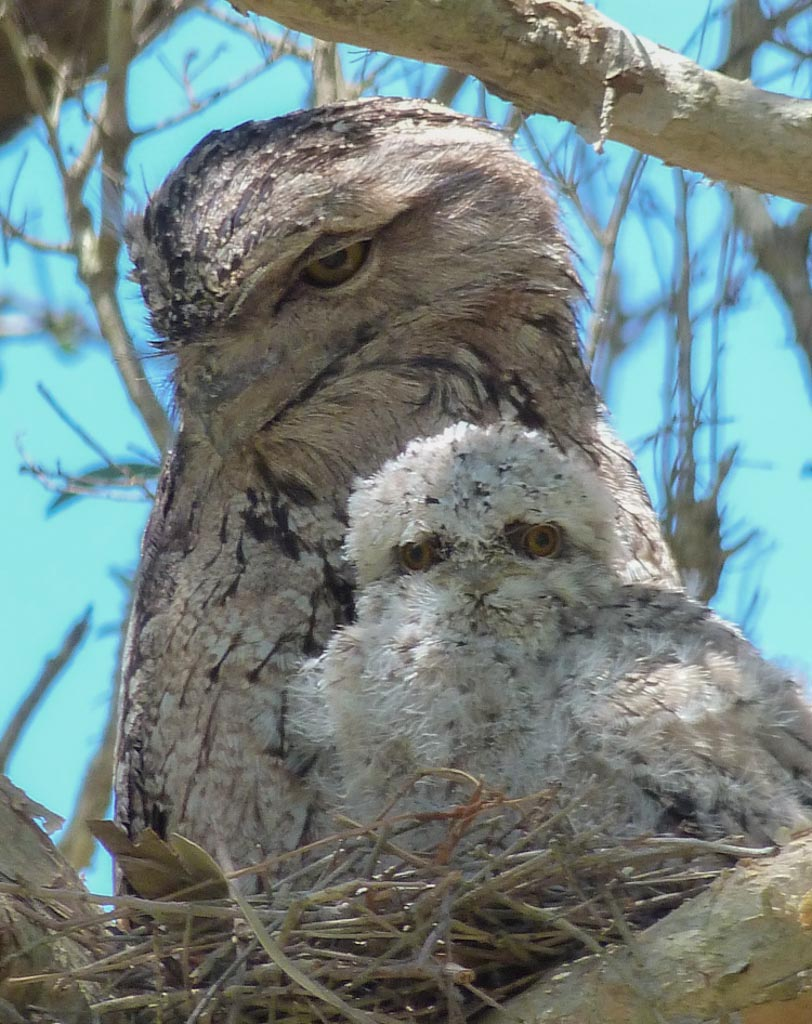 Tawny Frog Mouth and Bub
